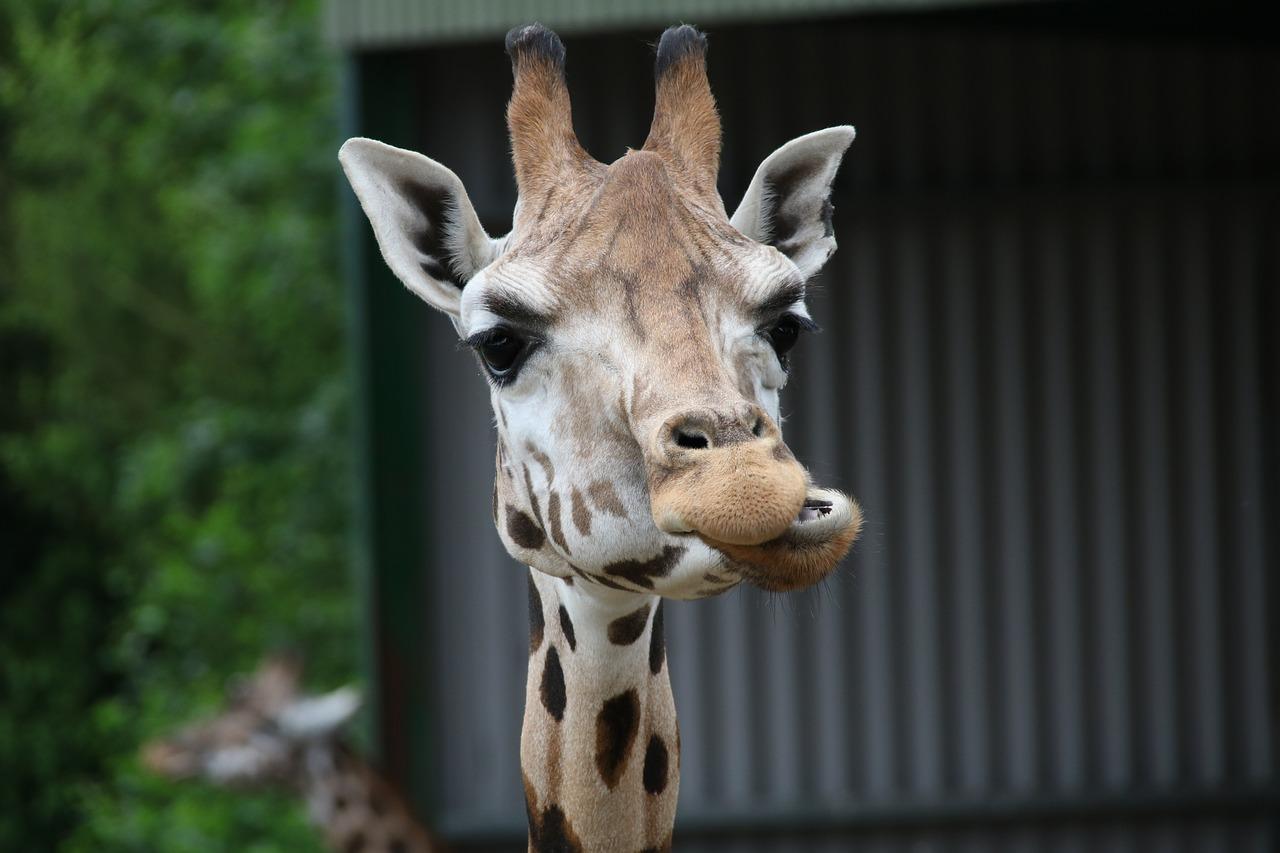giraffe speeksel kauwen